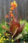 Canna Lily Tropicana