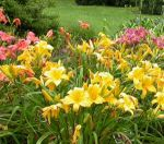 divideddaylilies